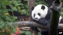 ខ្លាឃ្មុំផេនដា ដែលធ្លាប់ស៊ីសាច់ជាអាហារ បានអាស្រ័យស្ទើរតែទាំងស្រុងទៅលើដើមឬស្សី និងទីជម្រកក្នុងខេត្តស៊ីឈួន (Sichuan) ហ្សាងហ្ស៊ី (Shaanxi) និង ហ្គាងស៊ូ (Gansu) របស់ប្រទេសចិន។