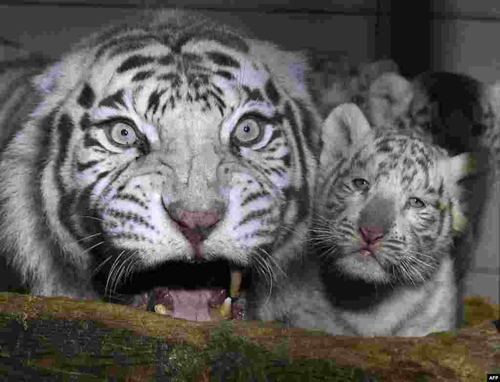 Three white tigers cub are seen next to their mother Orissa at the zoological park of Amneville, northeastern France.