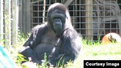 In this photo taken on May 13, 2008, Koko enjoys a day in the springtime sun at the Gorilla Foundation in California's Santa Cruz Mountains. (Photo: Ron Cohn for the Gorilla Foundation)