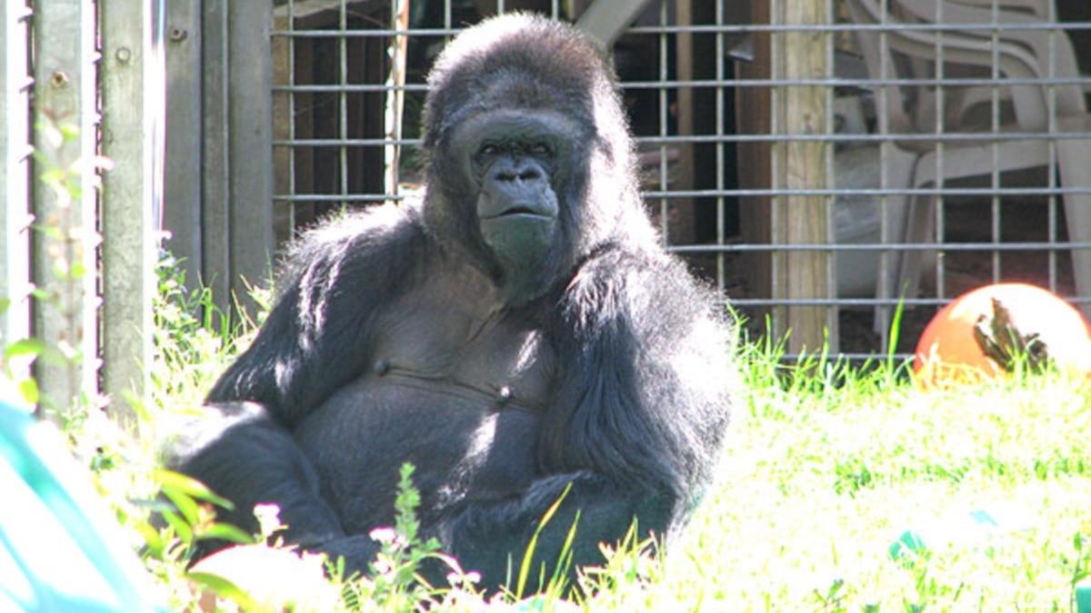 Koko, the Gorilla Who Knew Sign Language, Dies