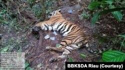 Seekor harimau Sumatra yang ditemukan mati karena terjerat di dalam kawasan hutan tanaman industri di Provinsi Riau, Senin 18 Mei 2020. (Foto: BBKSDA Riau)