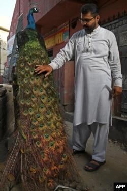 Hafiz Mohammad Fahim menunjukkan merak peliharaan keluarganya, yang diawetkan setelah mati, 10 Juni 2021. Merak tersebut dipelihara selama oleh keluarganya selama tujuh tahun, di Lahore. (AFP)