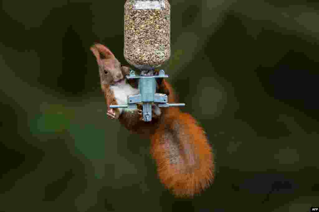 A squirrel tries to get grains from a bird feeder outside Hamburg, Germany.