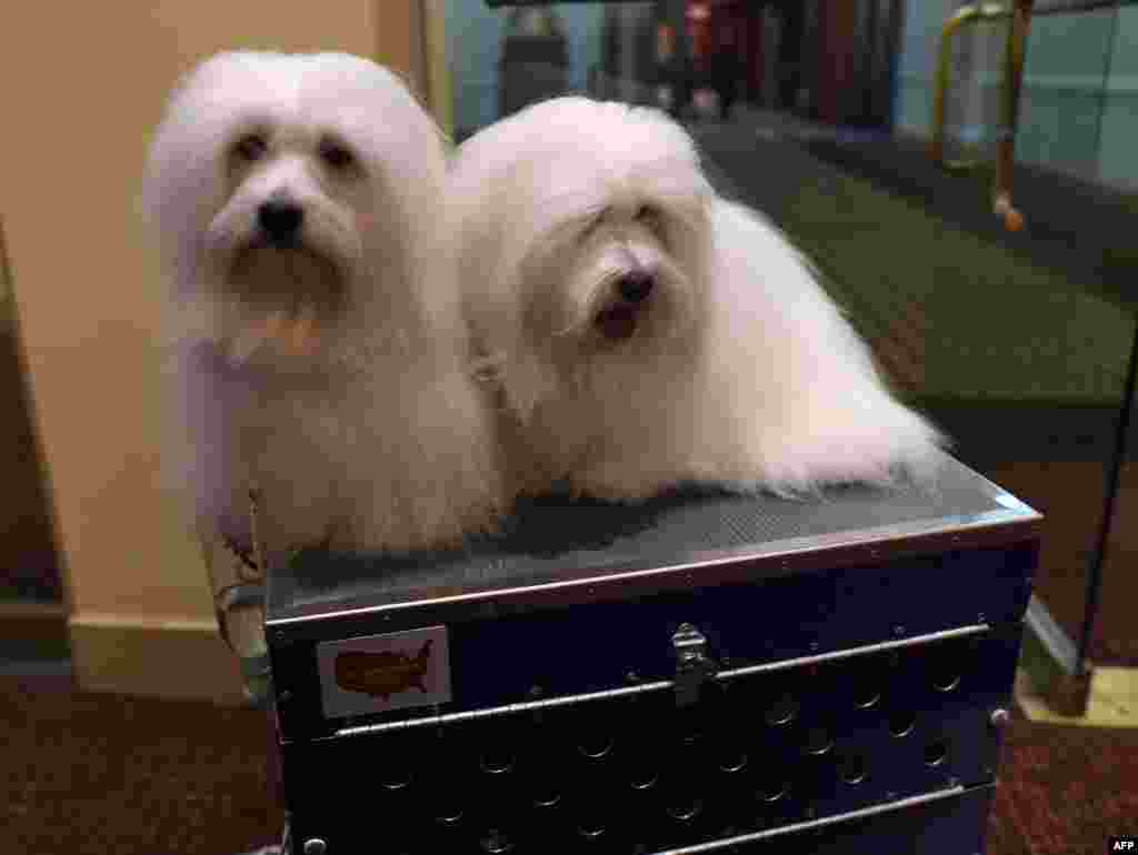 "New breed Cotons de Tulear ""Chanel"" and ""Burberry"" are shown at the 139th Annual Westminster Kennel Club Dog Show press conference to promote the two new breeds for the 139th Annual Westminster Kennel Club Dog Show, the 2nd Annual Masters Agility Championships and the Meet the Breeds event in New York."