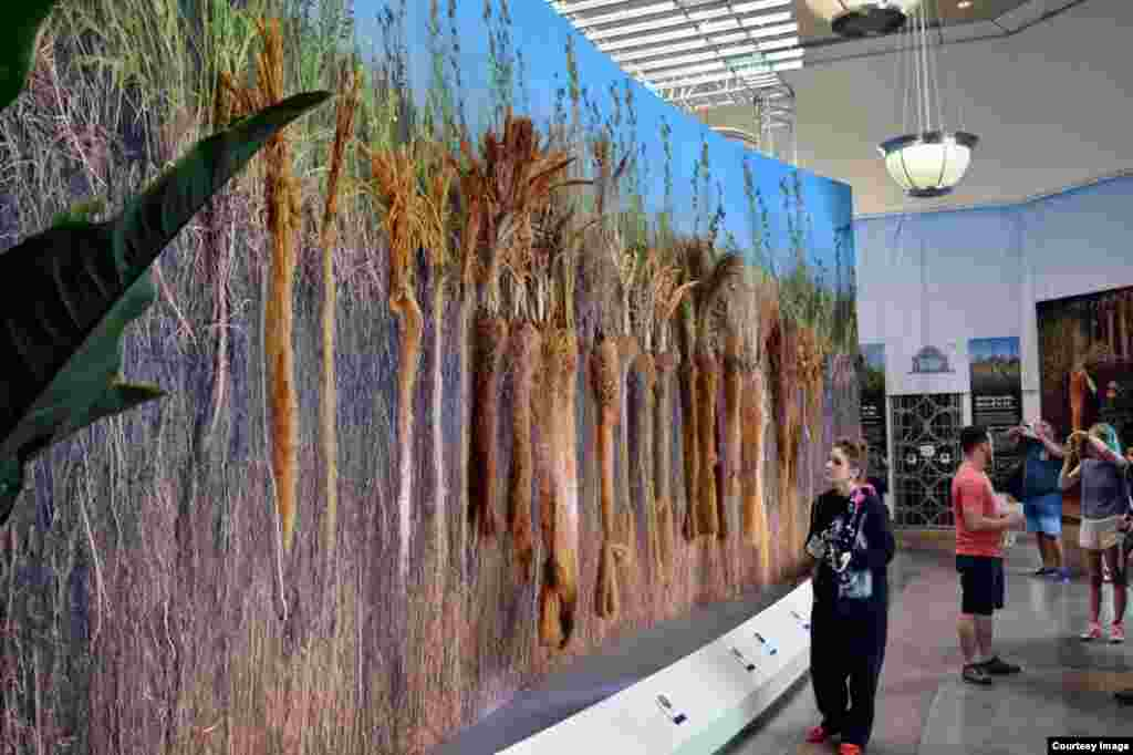 A display of long-root plants that feed us at the National Botanic Garden in Washington, D.C. aims to educate visitors on how roots grow underground and feed the soil and billions of micro-organisms. (Diaa Bekheet/VOA)