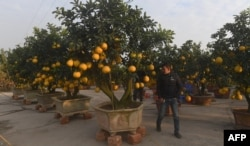 These grapefruit trees on sale near Hanoi, Vietnam.
