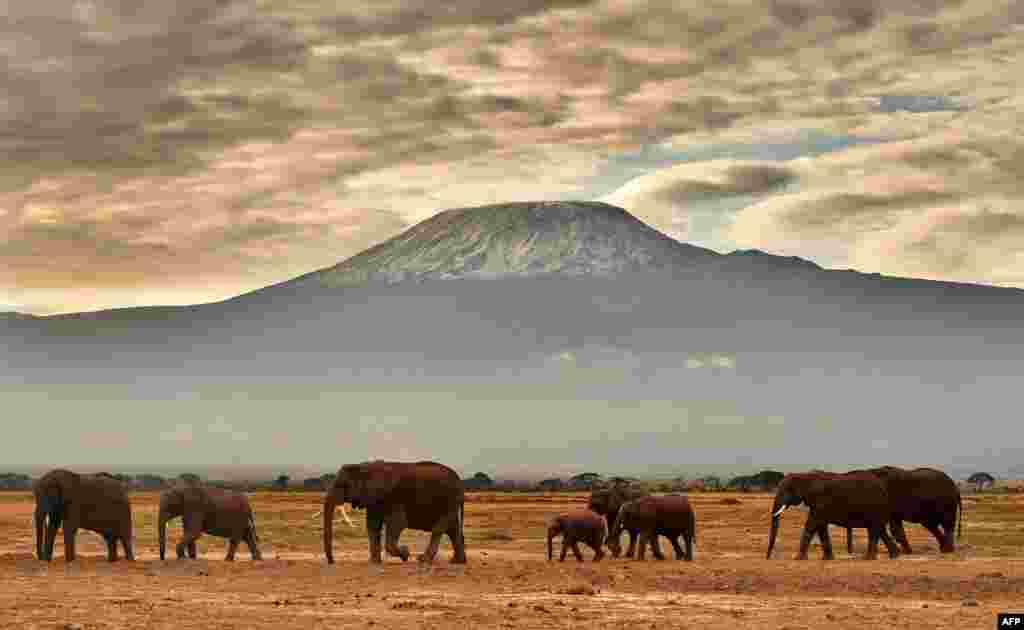 Kawanan gajah tampak di depan Gunung Kilimanjaro di taman nasional Amboseli, Kenya.