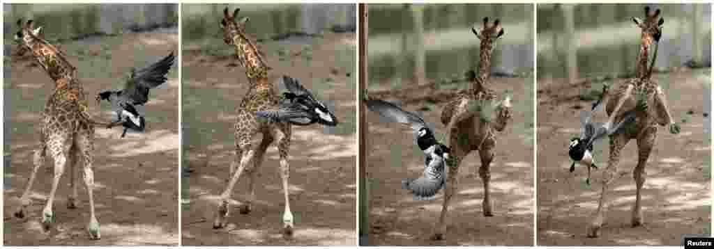 Belçika - Yeni doğulmuş zürafə