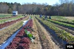 Fields of produce at Garner's Produce in Warsaw, Virginia. (N. Papadogiannakis/VOA)