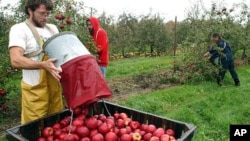 Apple pickers harvest fruit in Massachusetts, the home state of John Chapman, better known as Johnny Appleseed