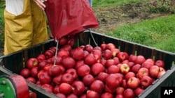 Las manzanas modificadas serían resistentes a ponerse marrón tras ser cortadas.