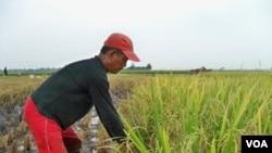 Seorang petani di Kabupaten Bandung sedang memanen padi. Hingga saat ini luas lahan pertanian di Jawa Barat mencapai 925 ribu hektar.