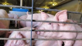 Competition for corn from ethanol is raising the cost of feeding pigs