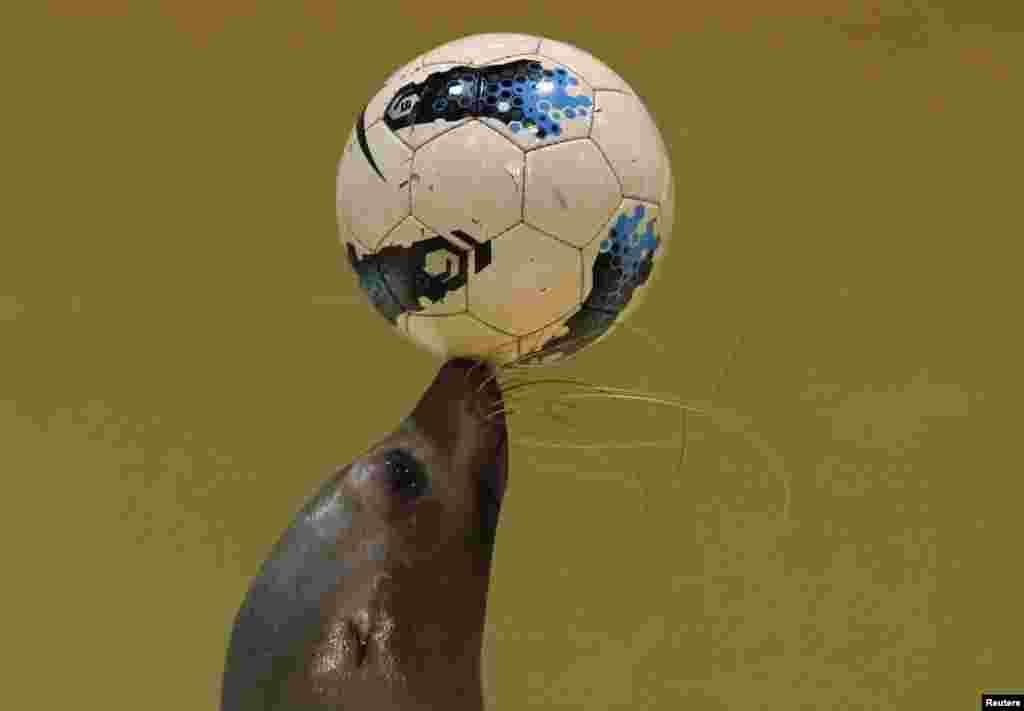 فٹبال کی پیش گوئیوں کے علاوہ ان جانوروں کے فٹبال کے ساتھ کرتب بھی خاصے مقبول ہیں۔