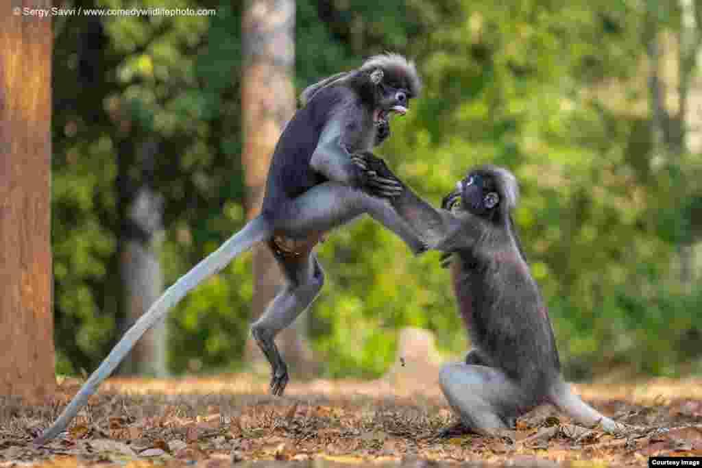تصویری از جنگ دو شادی در جنگل، از مجموعه عکسهای طنز حیات وحش عکاس: سیرگی سیوی