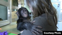 Filmmaker Irene Magafan with baby Teco, the newest addition to the Great Ape Trust in Des Moines, Iowa, in November 2011.(Courtesy Irene Magafan)