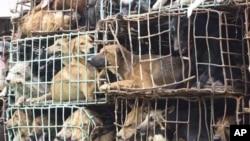 2011年9月6号泰国官方那空拍侬省缴获了一批被贩卖的狗(资料照)