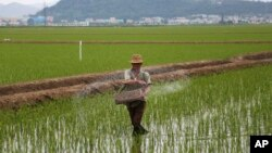 FILE - A farmer spreads fertilizer on a rice field in Sariwon, North Korea, June 13, 2018. The U.N. says around 11 million North Koreans need food and other aid and about 20 percent of children are stunted because of malnutrition.