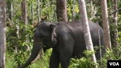 Seeekor gajah Sumatra terlihat di kawasan hutan di Perawang, provinsi Riau (12/1).