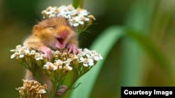 "WINNER of the Alex Walker's Serian On The Land category ""The Laughing Dormouse"" by Andrea Zampatti. (© Andrea Zampatti/Comedy Wildlife Photo Awards)"