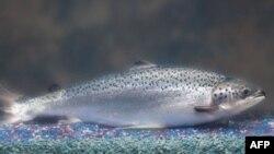 """Ikan salmon """"AquAdvantage"""" yang dimodifikasi secara genetika agar tumbuh lebih cepat (foto: dok)."""