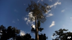 FILE - A Seringueira rubber tree, which is native to the Amazon rainforest, stands in Chico Mendes Extraction Reserve in Xapuri, Acre state, Brazil, June 24, 2016. Rubber is one of the trees cultivated by the ancient peoples of the Amazon.