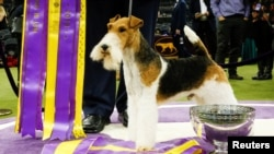 "A Wire Fox Terrier ""King"" is pictured after winning the Best in Show group at the 143rd Westminster Kennel Club Dog Show in New York City, New York, U.S., February 12, 2019. REUTERS/Eduardo Munoz"