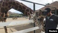 Dakota Semler stands with Stanley the giraffe at the Malibu Wine Safari in Malibu, Calif., Nov. 13, 2018.