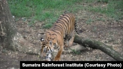 Harimau Sumatra. (Foto: Sumatra Rainforest Institute)