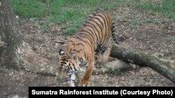 Ketersediaan makanan bagi harimau di hutan terus berkurang karena makanan mereka juga diburu manusia (foto: ilustrasi).