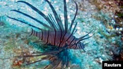 A lionfish is seen on the reefs off Roatan, Honduras in this picture taken May 5, 2010. Native to Indo-Pacific waters, lionfish have invaded the Caribbean because of the aquarium trade and are gobbling up native species but have no predators in the region, so their population is exploding.