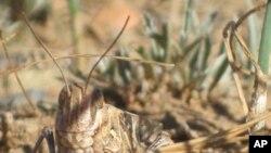 A locust in its grassland habitat - a heavily-grazed field in Inner Mongolia.