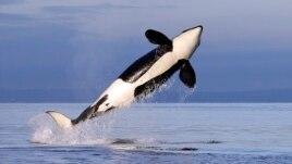 Balenat dhe rëndësia e tyre për oqeanet