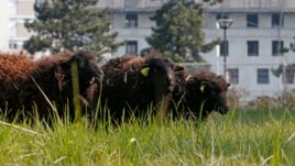 Sheep are seen in a 2000m² green space owned by the French capital's archives service as part of an 'eco-grazing' experiment with a group of Ouessant sheep in the 19th district in Paris, April 3, 2013.