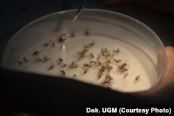 Nyamuk ber-Wolbachia di insektarium Pusat Kedokteran Tropis, FKKMK UGM (dok. UGM)