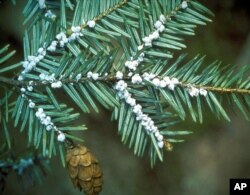 FILE - This undated file photo provided by the U.S. Forest Service shows egg masses of the hemlock woolly adelgid. Scientists say climate change is a contributing factor.