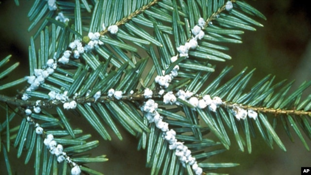 FILE - Undated file photo provided by the U.S. Forest Service shows egg masses of the hemlock woolly adelgid. Scientists say climate change is a contributing factor.
