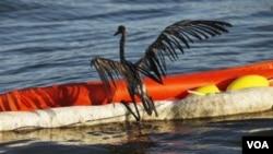 Hace un año, tras explotar la plataforma Deepwater Horizon, las aves en el área del Golfo sufrían los efectos del petróleo en el mar.