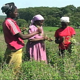 The new FAO report finds that while women make up 43 percent of the world's farmers, only about 10 to 20 percent own the land they farm.