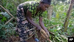A woman tends casava in the Congo. Small farmers are having a difficult time getting access to land in the Democratic Republic of the Congo.