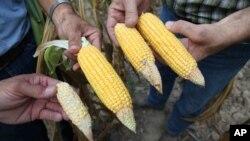 La de maíz ha sido una de las cosechas más perjudicadas por la sequía.