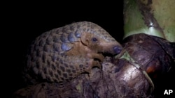 In this photo taken on September 20th, 2016, a Chinese pangolin rests on a tree branch at the Save Vietnam's Wildlife rescue center in Cuc Phuong National Park, Ninh Binh province, Vietnam. On Wednesday in Johannesburg, South Africa, delegates at a U.N. w