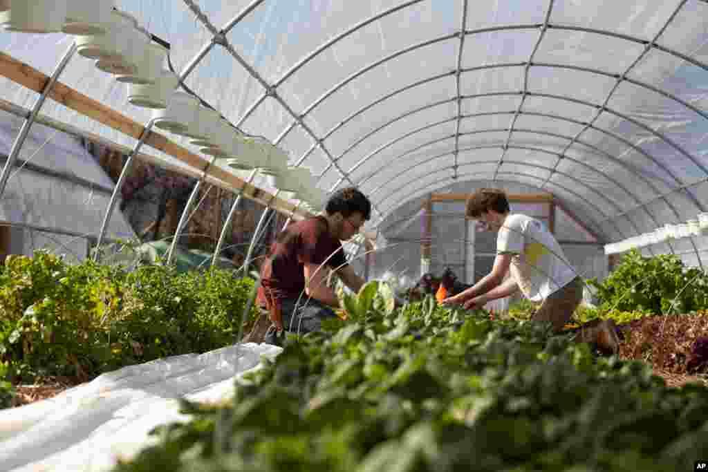 Ông Adam Schwartz, người xây dựng và trồng trọt tại nông trại EcoCity thu hoạch rau xanh cùng với một người tình nguyện khác. (Alison Klein/VOA)