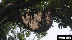 """Sarang lebah madu """"apis dorsata"""" atau dikenal sebagai lebah madu raksasa yang hidup di hutan-hutan Asia, termasuk Indonesia."""