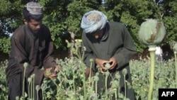 Afganistan'da Afyon Üretimi Yarı Yarıya Azaldı
