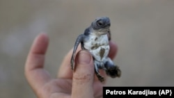 A conservationist holds up a tiny sea turtle that just hatched from its nest on Cyprus' protected Lara beach.