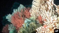 This undated photo provided by GEOMAR shows a Norwegian coral reef with gorgonian and stony corals in Norway. A new international report released Nov. 13, 2013, reports that greenhouse gases are making the world's oceans hot, sour and breathless.