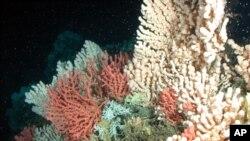 Les coraux sont menacés par la réduction de biomasse dans l'océan profond