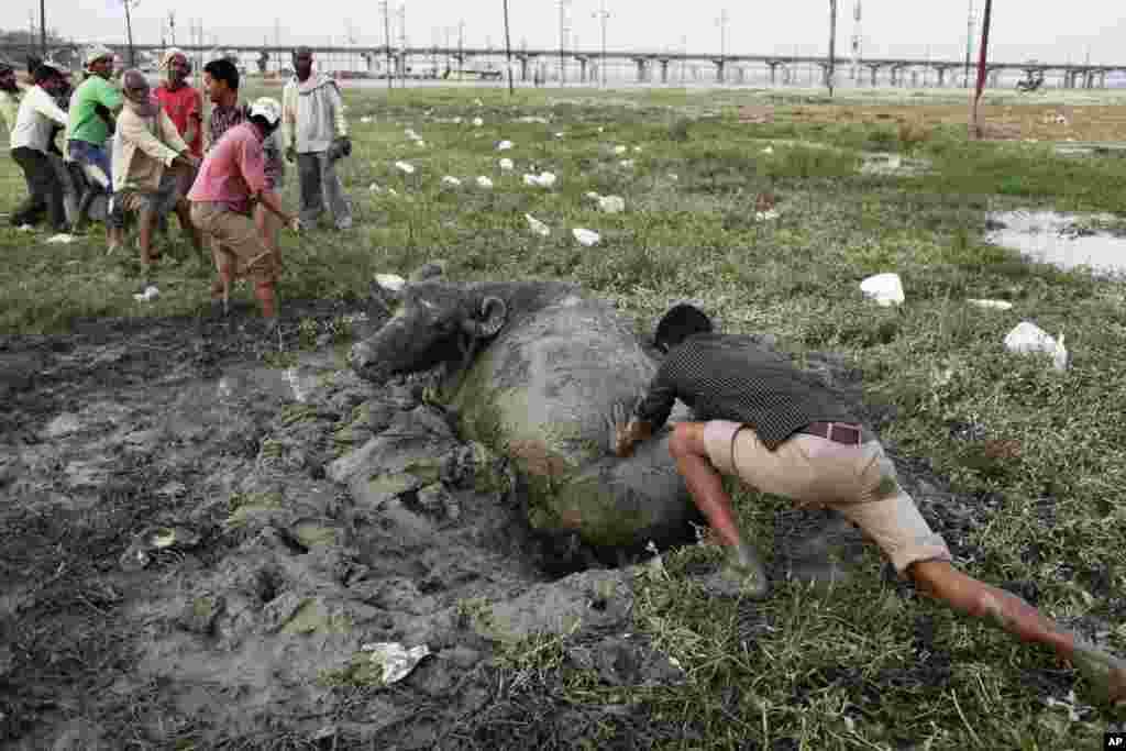Oveća grupa Indijaca pokušava spasiti bafala utonulog u duboko blato nedaleko od Allahabada, Indija.