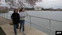 Nhiều người đi bộ dưới những cây hoa đào chớm nụ ở thủ đô Washington và gây quỹ cho nạn nhân động đất và sóng thần ở Nhật Bản